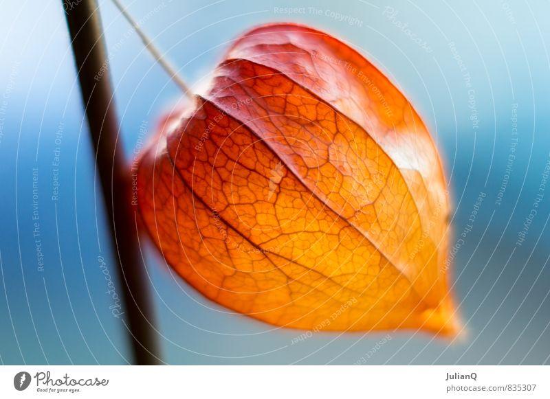 Lampignon Pflanze Blüte ästhetisch mehrfarbig Farbenspiel lampignon Laterne Nahaufnahme Detailaufnahme Schwache Tiefenschärfe