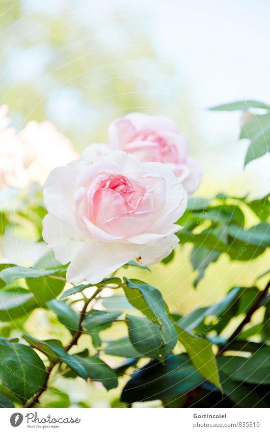 Rosig Natur Pflanze Sommer Schönes Wetter Blume Rose Blatt Blüte schön grün rosa Rosenblüte Rosenblätter Farbfoto Außenaufnahme Textfreiraum oben Tag Licht