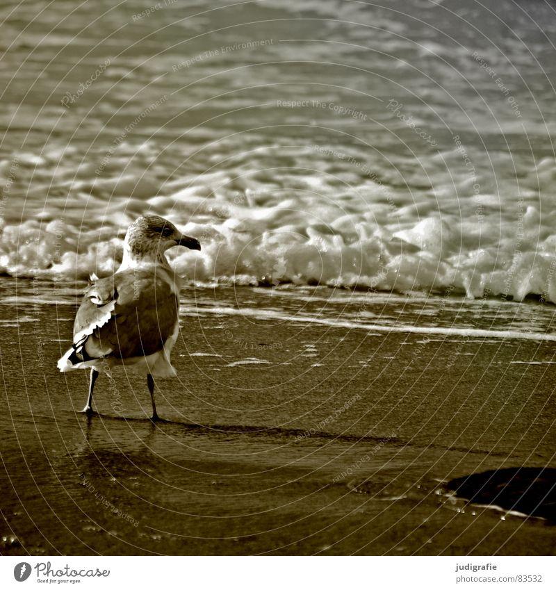 Meerblick See Möwe Silbermöwe Vogel Tier Strand Feder Wellen Brandung Gischt Küste Fischland-Darß-Zingst Weststrand Ornithologie Umwelt Wildnis Sand Wasser