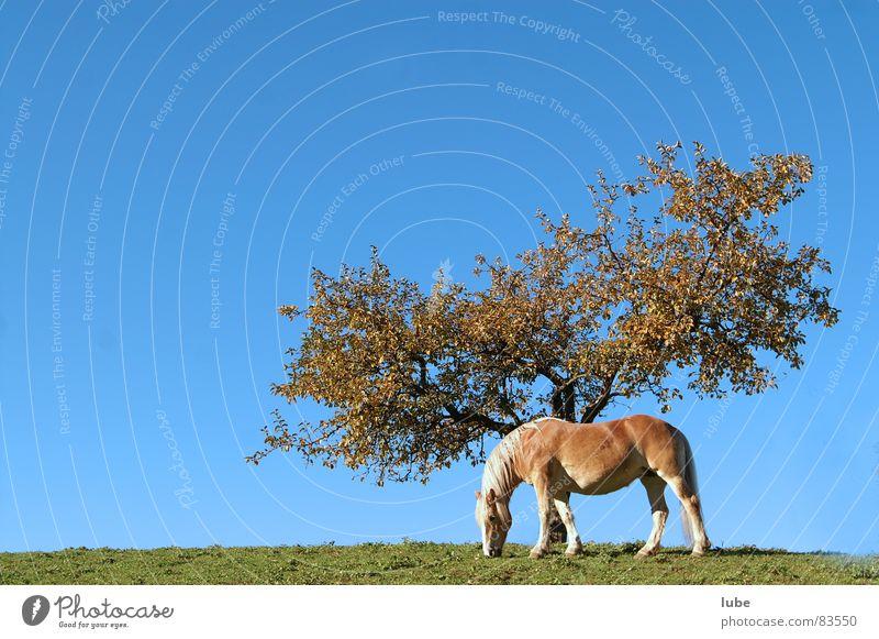 Haflinger Himmel Baum grün Herbst Wiese Gras Pferd Bauernhof Landwirtschaft Weide Baumstamm Ackerbau Alm Bergwiese Himmelszelt