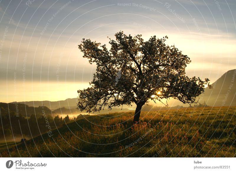 Baum Laubbaum Morgen Sonnenaufgang Wiese Gras Apfelbaum Baumstruktur Alm Bergwiese Frühling Morgendämmerung