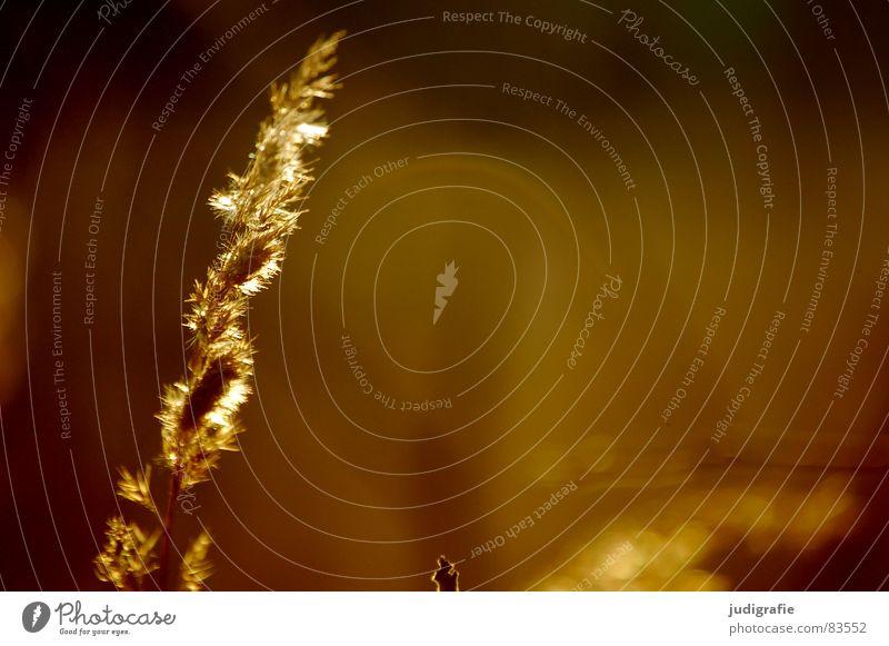 Licht See Gras gelb Stengel Halm Ähren glänzend Stimmung schön weich Rauschen Wiese zart beweglich sensibel federartig Schwäche Herbst Sonne gold orange Wind