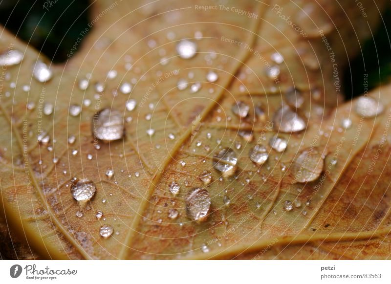 Blattperlen Seil Natur Wasser Wassertropfen Herbst Regen Baum dunkel nass braun Stimmung durchsichtig Gefäße Blattadern feucht Tauperlen drop Detailaufnahme