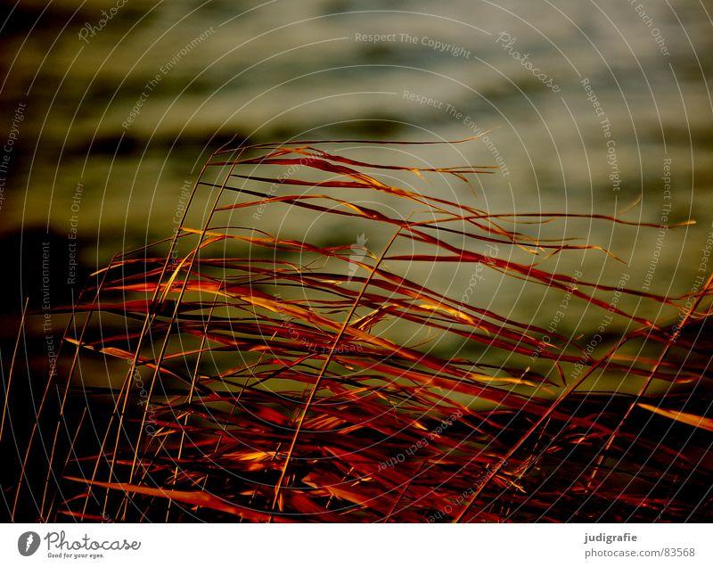 Wind und Gras See Strand Abendsonne gelb Stengel Halm Wildnis Umwelt Herbst Sand Küste Natur gold orange Linie Strukturen & Formen büschel Spitze wehen