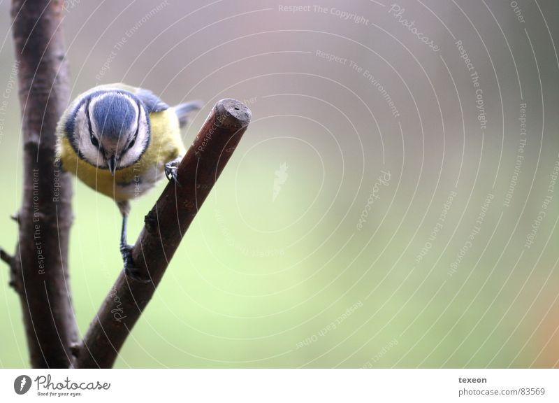 Angriffsvogel Tier Vogel Ast böse Futter Meisen Blaumeise