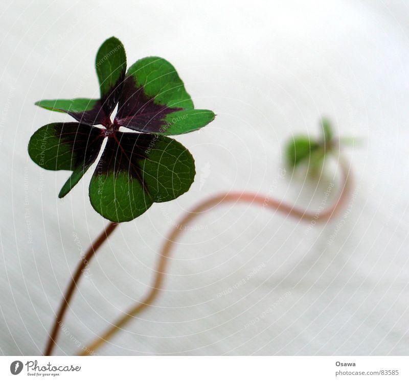 Glück gehabt Pflanze Blume Klee Botanik Pflanzenteile Glücksspieler Stengel Blumenhändler Glückwünsche Kleeblat vierblättriger Klee Schornsteinfegerderivat