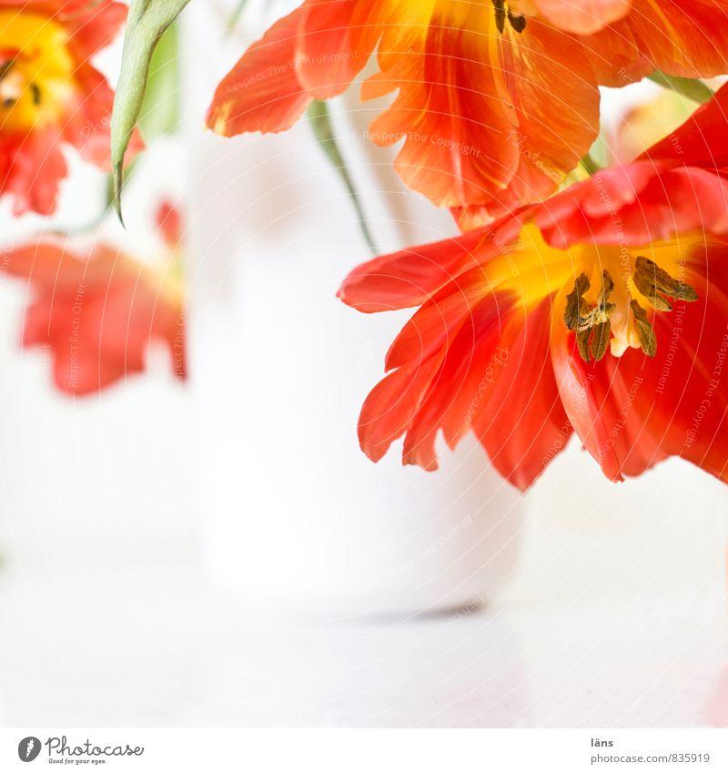 blühender übergang Pflanze Tulpe Blühend hängen verblüht ästhetisch rot weiß Leichtigkeit Blumenvase hell Blumenstrauß Dekoration & Verzierung Häusliches Leben