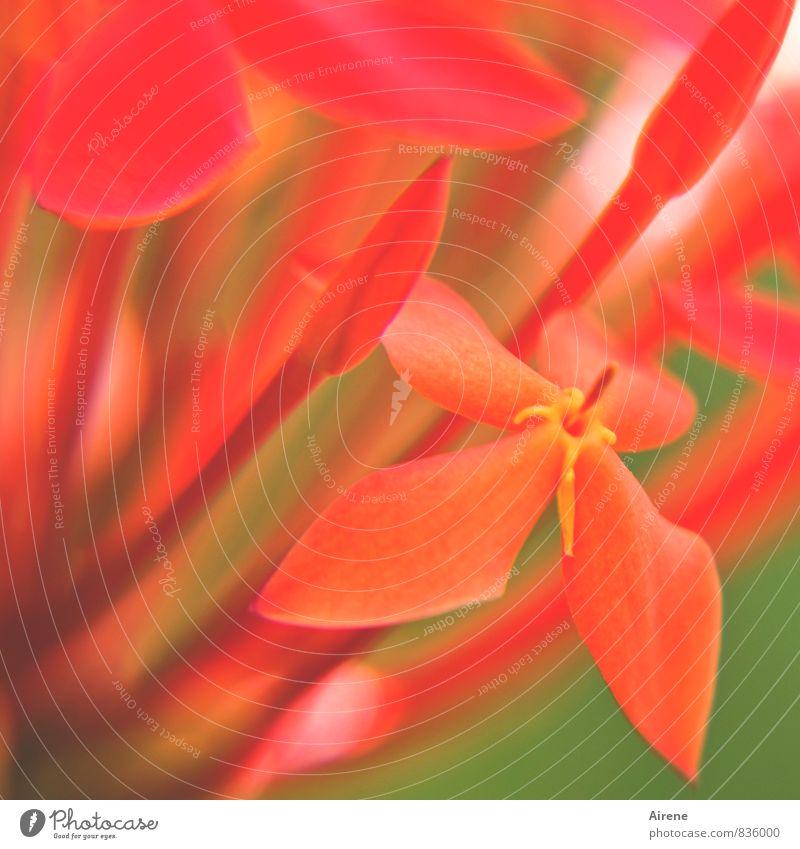 Ixora Pflanze grün rot Blüte orange leuchten gold Sträucher