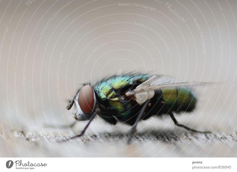 Makro | 400 Umwelt Natur Tier Wildtier Fliege 1 grau grün Insekt sitzen Farbfoto Außenaufnahme Nahaufnahme Makroaufnahme Menschenleer Textfreiraum links