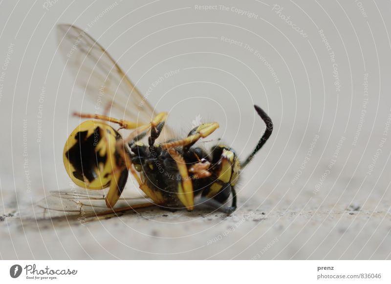 Am Ende Umwelt Natur Tier Sommer gelb grau Wespen Tod liegen Farbfoto Außenaufnahme Nahaufnahme Makroaufnahme Menschenleer Textfreiraum oben Tag