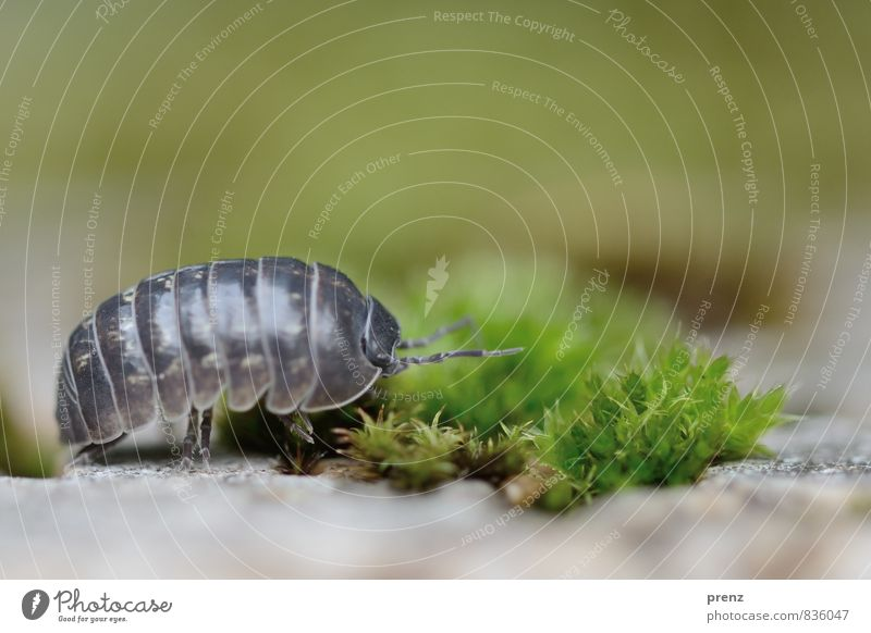 Ab ins Grüne Umwelt Natur Landschaft Pflanze Tier Sommer Schönes Wetter Wildtier 1 grau grün Kellerasseln Assel Insekt Moos Farbfoto Außenaufnahme Nahaufnahme
