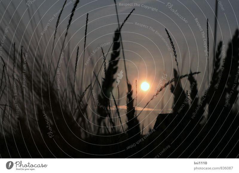 Sommerabend Natur Landschaft Pflanze Himmel Wolken Sonne Sonnenaufgang Sonnenuntergang Sonnenlicht Wärme Gras Nutzpflanze Wiese außergewöhnlich dunkel