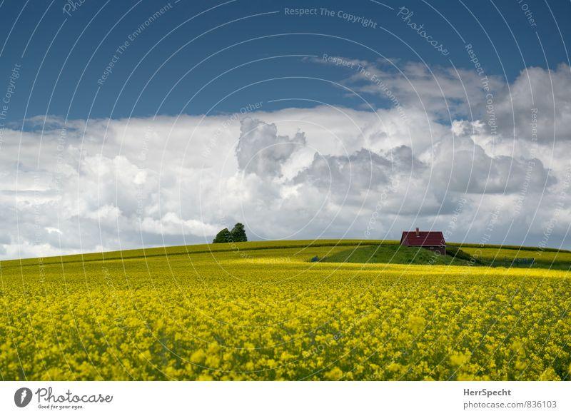 Ein Häuschen im Gelben Umwelt Landschaft Pflanze Himmel Wolken Horizont Frühling Schönes Wetter Nutzpflanze Raps Rapsfeld Rapsanbau Haus Einfamilienhaus Hütte