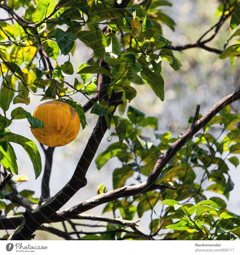 Früchtchen Pflanze grün Baum gelb Gesundheit Lebensmittel Frucht frisch Klima genießen Ernährung Italien Landwirtschaft rein Ernte Bioprodukte