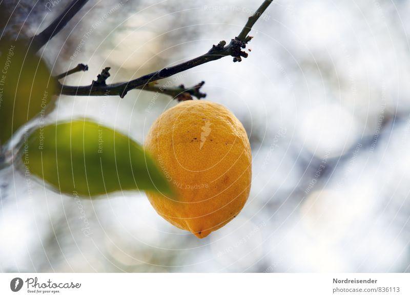 Zitrusfrische.... Natur Pflanze Sommer Baum Gesundheit Lebensmittel Wachstum Frucht frisch lecker Duft Bioprodukte Erfrischung mediterran exotisch hängen