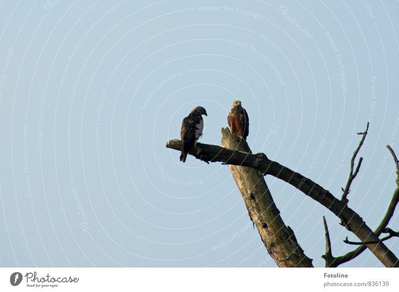 Was guckst du? Umwelt Natur Pflanze Tier Urelemente Luft Himmel Wolkenloser Himmel Baum Vogel 2 hell natürlich blau Ast laublos Greifvogel Roter Milan Farbfoto
