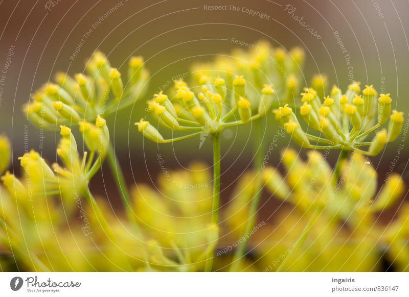 Magenberuhigend Kräuter & Gewürze Fenchel Fenchelblüten Tee Gesundheit Alternativmedizin Erholung Duft Pflanze Blüte Nutzpflanze Blühend Wachstum natürlich gelb