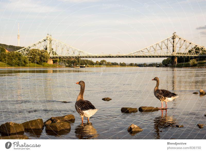 Elbblick Wasser Sommer Erholung Landschaft Tier Deutschland Wildtier Tierpaar authentisch genießen Flügel Brücke Fluss Bauwerk Flussufer Schifffahrt