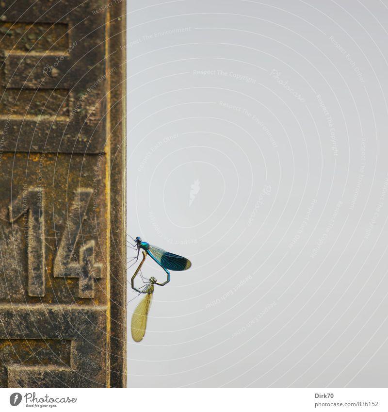 Libellenliebe blau rot Tier schwarz gelb Leben Liebe grau Metall Idylle Schilder & Markierungen Wildtier sitzen Tierpaar Sex Herz
