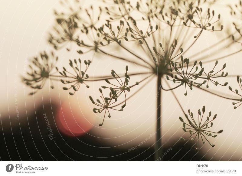 Dill, romantisch Kräuter & Gewürze Ernährung Sonne Sonnenaufgang Sonnenuntergang Sonnenlicht Pflanze Nutzpflanze Dillblüten Samen Fruchtstand Doldenblüte Garten