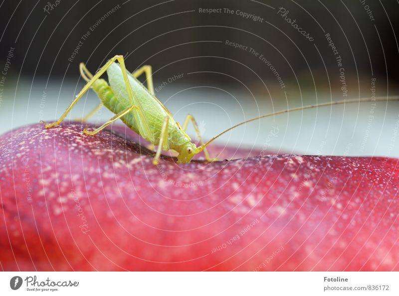 kleiner Snack Umwelt Natur Tier 1 frei natürlich grün rot Heuschrecke Heimchen Beine Fühler Fressen Pfirsich Farbfoto mehrfarbig Außenaufnahme Nahaufnahme