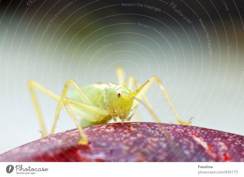 njam njam njam Natur Tier Sommer 1 sportlich hell klein natürlich grün rot Insekt Heuschrecke Steppengrashüpfer Nektarine Farbfoto mehrfarbig Außenaufnahme
