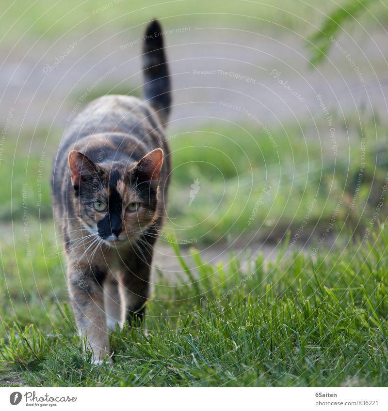 im Fokus Tier Haustier Katze 1 beobachten Bewegung entdecken gehen Jagd Blick elegant Neugier Kraft Mut Interesse ästhetisch Energie Zufriedenheit