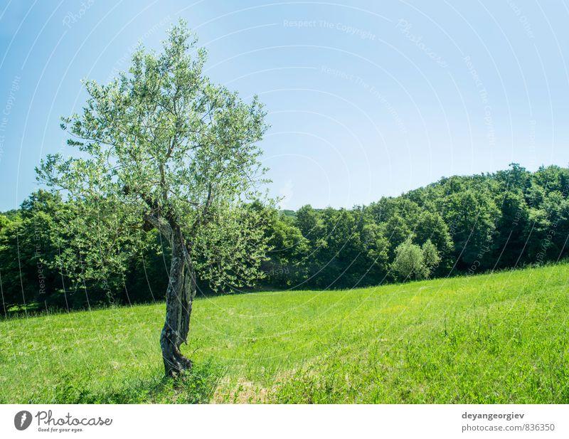Olivenbaum in Italien Frucht Sommer Garten Kultur Natur Landschaft Pflanze Himmel Baum Gras Hügel alt natürlich grün Idylle oliv Toskana Ackerbau Feld Bauernhof