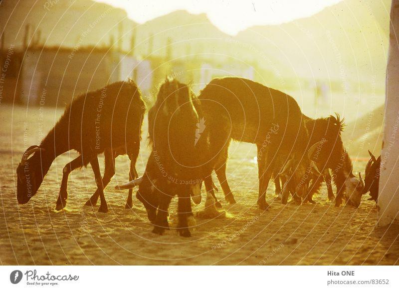 Abendliches Sonnenbad Ägypten Gegenlicht Physik gelb Hügel Bergkette Wohngebiet heiß Armut Ziegen Tier beige orange Bergkamm Stadtteil Ödland Abendessen