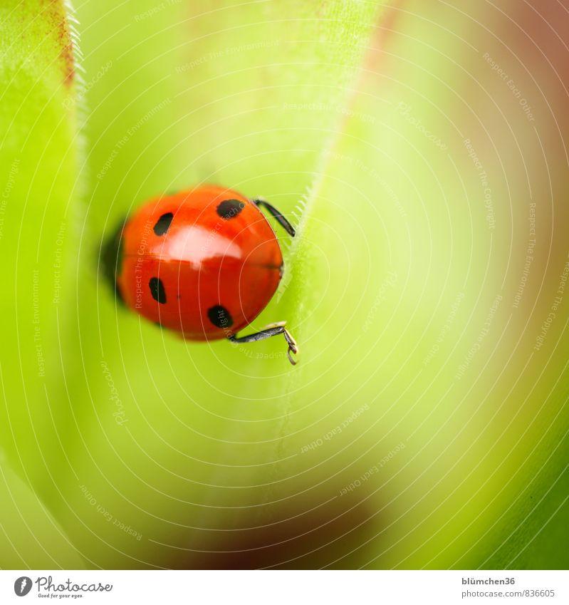 200 | mal Glück gehabt Tier Wildtier Käfer Siebenpunkt-Marienkäfer 1 krabbeln laufen sitzen klein natürlich rund schön grün rot schwarz Lebensfreude