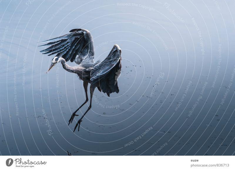 Traumtänzer elegant Umwelt Natur Landschaft Tier Urelemente Wasser Teich See Wildtier Vogel Flügel fliegen ästhetisch authentisch fantastisch kalt natürlich