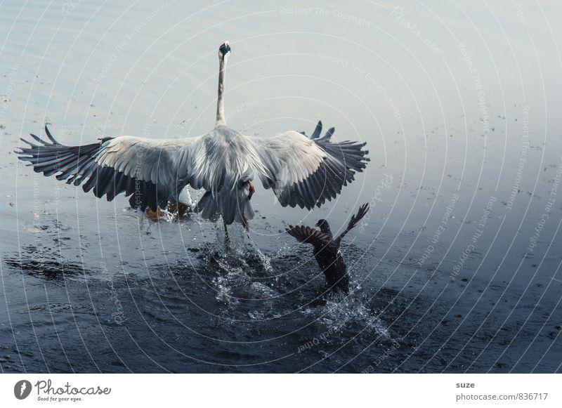 Verfolgungswahn elegant Jagd Natur Landschaft Tier Wasser Teich See Wildtier Vogel Flügel 2 fliegen schreien Konflikt & Streit ästhetisch authentisch