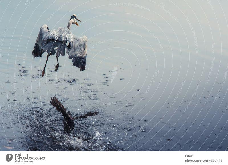 Teich-Razzia elegant Jagd Umwelt Natur Landschaft Tier Wasser See Wildtier Vogel Flügel 2 fliegen schreien Konflikt & Streit authentisch fantastisch natürlich