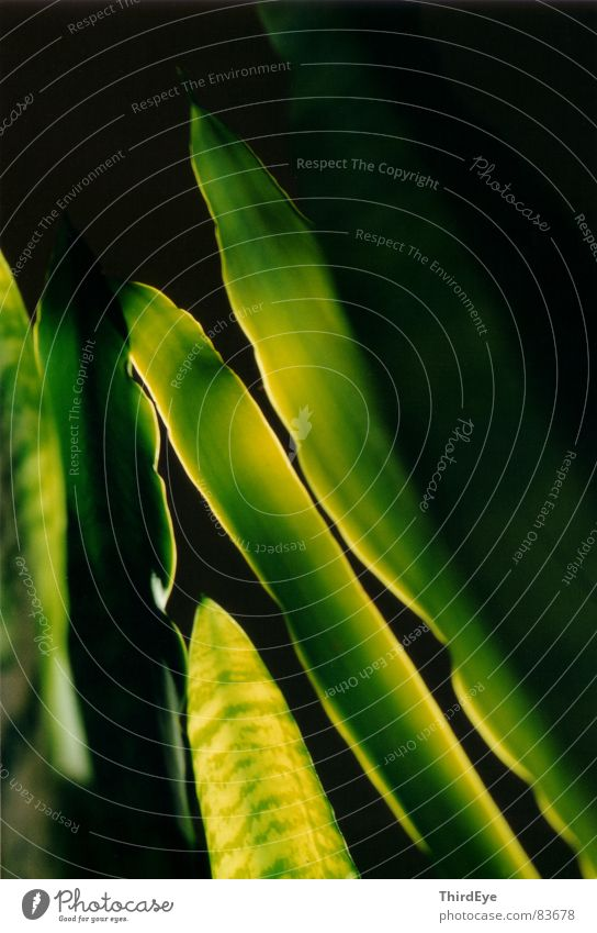 ...mit der Goldkante grün Pflanze Leben Erholung klein frisch Vertrauen lang leicht diagonal harmonisch beruhigend Pflanzenteile