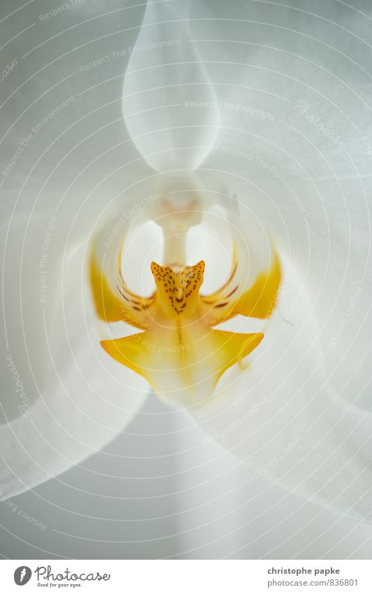 Königin der Blumen Floristik Stengel Natur Pflanze Orchidee Blüte Topfpflanze exotisch natürlich schön gelb weiß Farbfoto Innenaufnahme Nahaufnahme