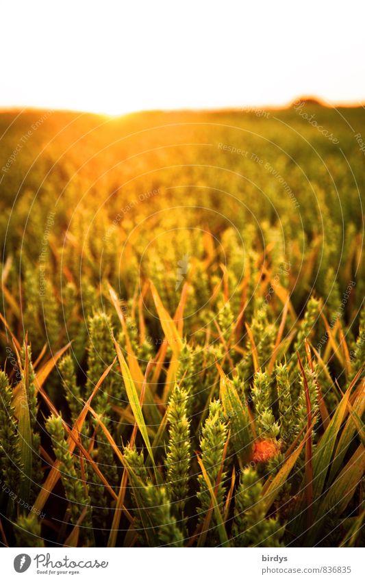 Getreidefeld im Abendlicht Natur Sommer Sonne Wärme Horizont Feld Wachstum leuchten Schönes Wetter Landwirtschaft ökologisch positiv nachhaltig