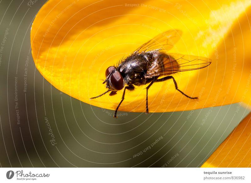 Fliege Umwelt Natur Pflanze Tier Blume Garten Flügel Insekt 1 klein gelb Sommer Frühling Farbfoto mehrfarbig Außenaufnahme Makroaufnahme Textfreiraum unten Tag