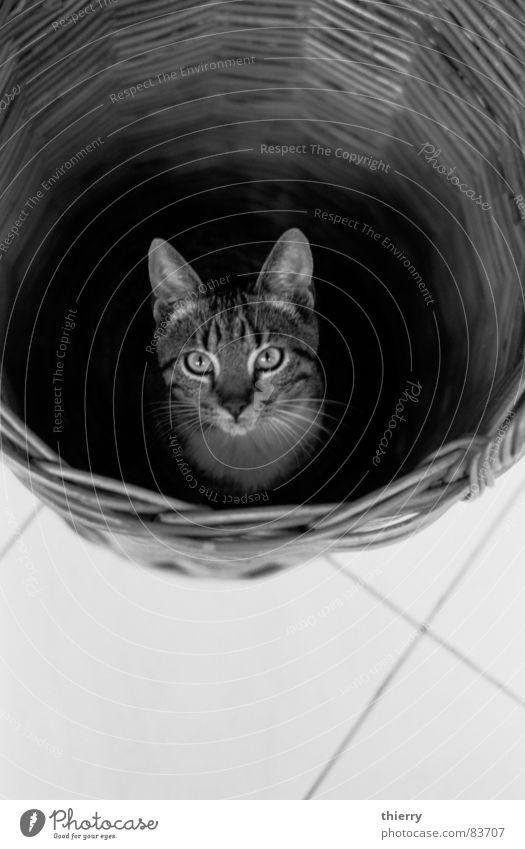 there you are Basketballkorb Säugetier cat Schwarzweißfoto rye found hiding contrast fun eyes animal pet