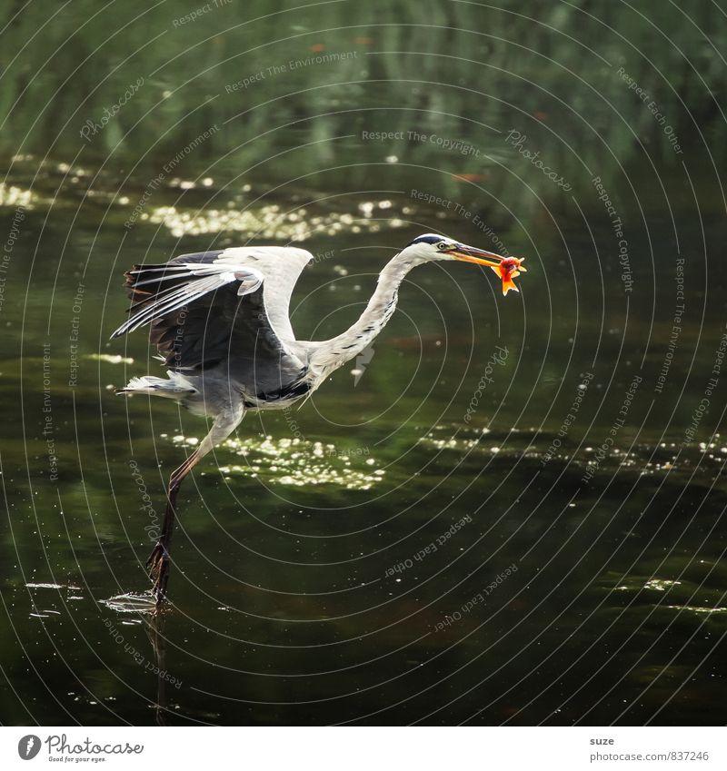 Wer hat, der kann. Jagd Umwelt Natur Landschaft Tier Wasser Teich See Wildtier Vogel Fisch 1 Bewegung fliegen Fressen authentisch fantastisch natürlich grün