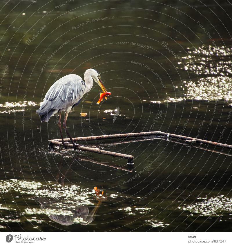 Das Auge isst eben mit elegant Jagd Natur Landschaft Tier Wasser Teich See Wildtier Vogel Fisch Flügel 2 Fressen glänzend stehen ästhetisch authentisch