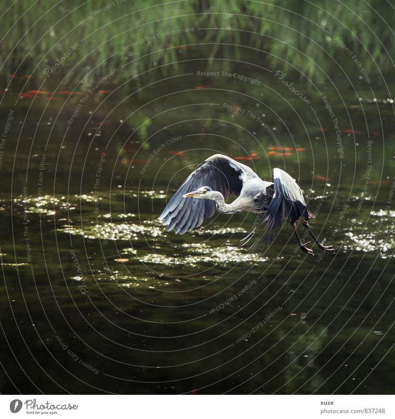 Herr Strese startet durch ... Natur grün Wasser Landschaft Tier Bewegung natürlich See fliegen Vogel glänzend wild elegant Wildtier authentisch Feder