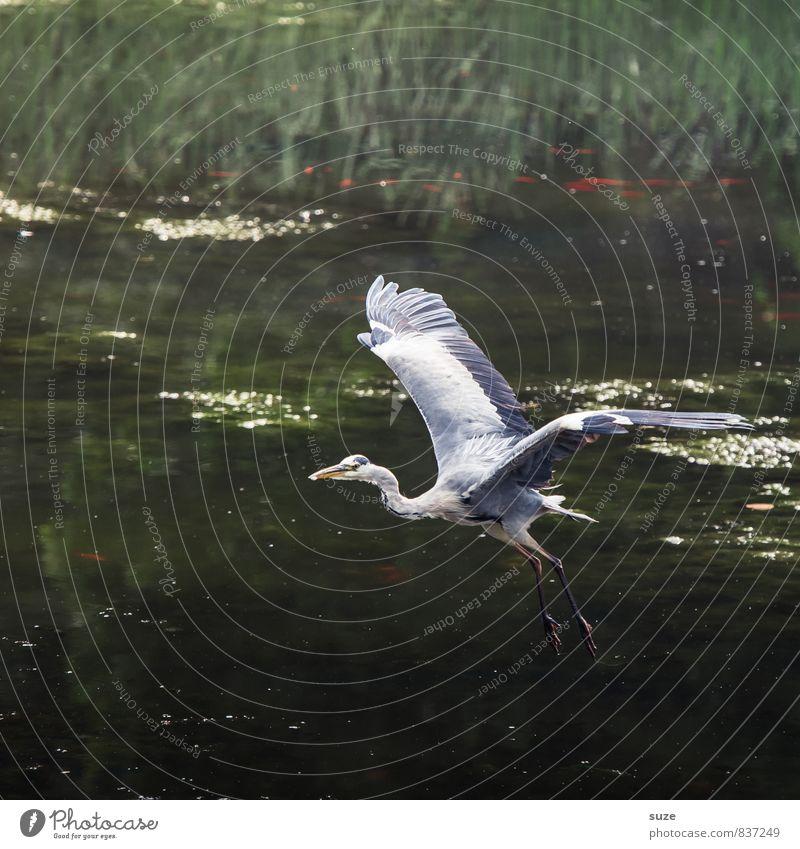 Da flieg ich drauf ... elegant Jagd Natur Landschaft Tier Wasser Seeufer Teich Wildtier Vogel Flügel Bewegung fliegen glänzend ästhetisch authentisch