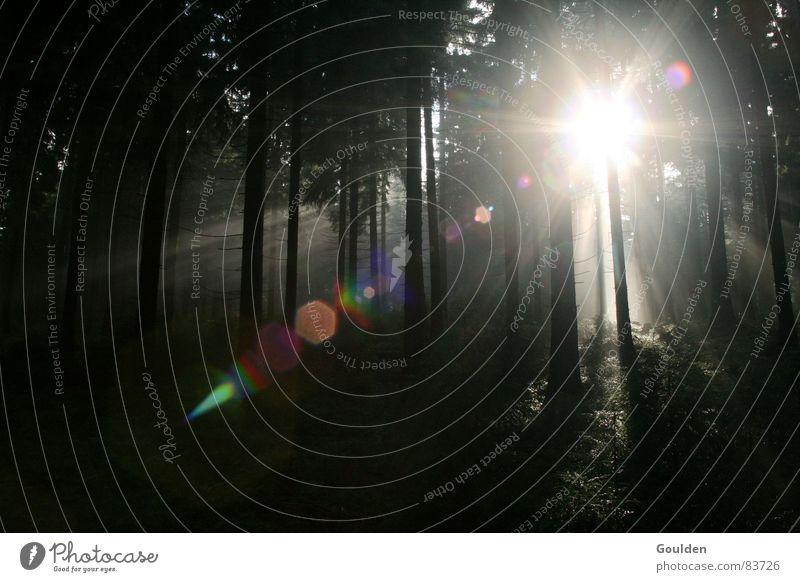 Dichtes Fichtendickicht Natur Baum Pflanze Sonne Sommer Wald Umwelt dunkel Stimmung Nebel Tanne Baumstamm Momentaufnahme Hinweis Erkenntnis Wildnis