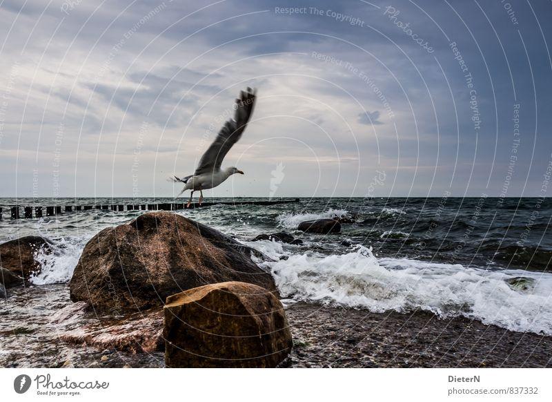 Abflug! Wasser Himmel Wolken Wellen Küste Meer Tier Wildtier Vogel Flügel 1 blau braun weiß Möwe Ostsee Stein Buhne Farbfoto Außenaufnahme Menschenleer