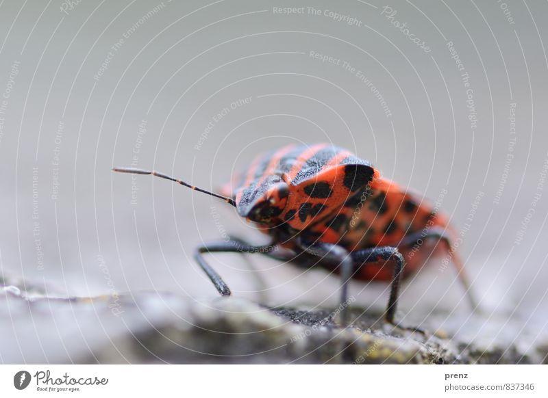 kribbelkrabbel Umwelt Natur Tier Wildtier Käfer 1 rot schwarz Wanze Streifen Insekt Farbfoto Außenaufnahme Nahaufnahme Makroaufnahme Textfreiraum oben Tag