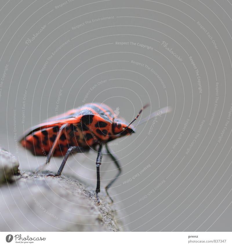 Fernweh Umwelt Natur Tier Wildtier Käfer 1 rot schwarz Wanze Streifen Insekt Farbfoto Außenaufnahme Nahaufnahme Makroaufnahme Menschenleer Textfreiraum oben Tag