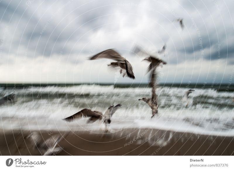 Sturm Landschaft Tier Sand Wasser Himmel Gewitterwolken Horizont Wetter schlechtes Wetter Unwetter Wind Küste Strand Ostsee Meer Wildtier Vogel Flügel Schwarm