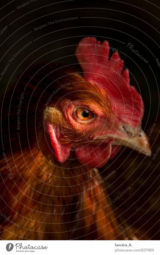 Das verrücke Huhn Natur rot Tier schwarz Garten braun fliegen Lebensmittel Kraft Idylle Flügel Küche Bioprodukte Jagd Haustier frieren