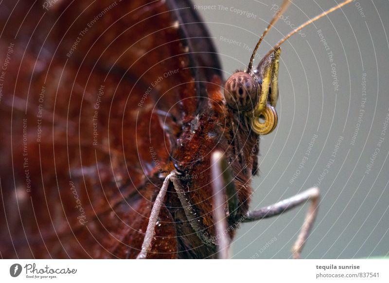 roter Falter Umwelt Tier Wildtier Schmetterling Tiergesicht Flügel Auge Fühler Rüssel 1 Ekel braun Farbfoto Makroaufnahme Textfreiraum links Textfreiraum rechts