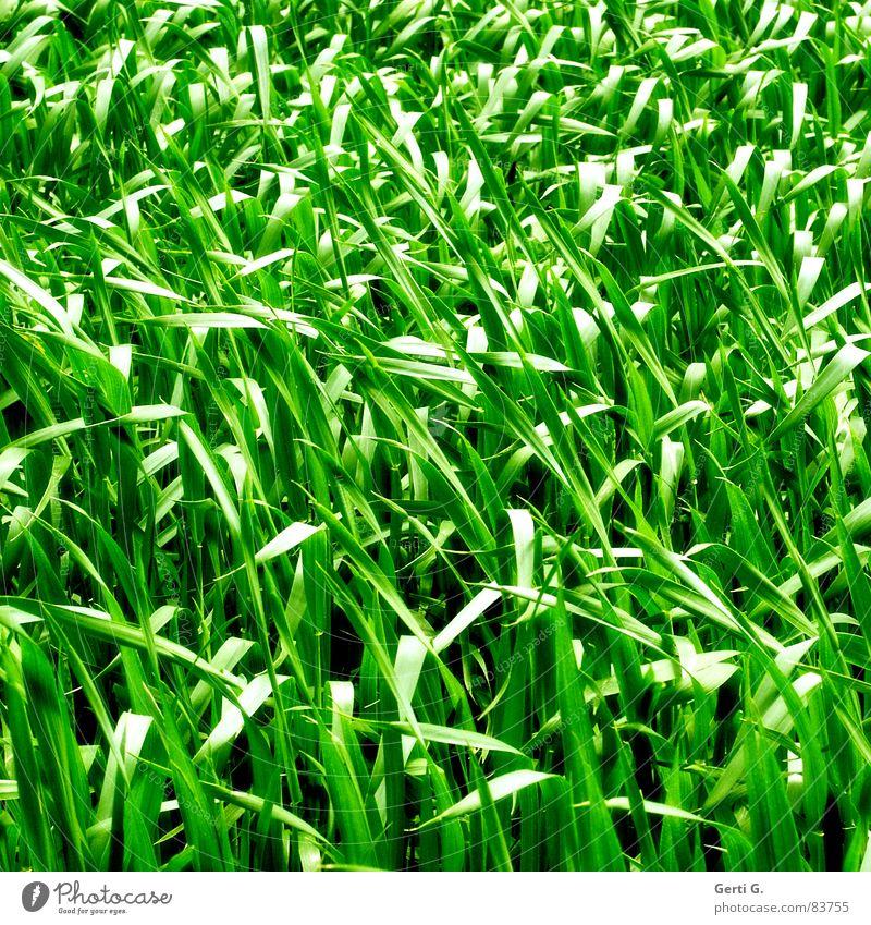 praktisch, quadratisch, Gras grün Sommer Ernährung Wiese Feld Wind Lebensmittel frisch Rasen Quadrat Landwirtschaft Ernte Weide Halm Korn